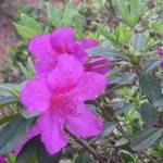 """""""Azalea"""" by magnoliadorn"""