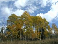 Yellowstones aspens in October