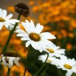 """""""daisies in a garden"""" by create4fun"""