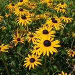 """Field of Black Eyed Susans"" by LivingGaia"