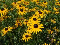 Field of Black Eyed Susans