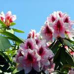 """Rhododendron Pink"" by iMage07"