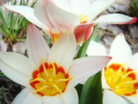 Tulip Garden White Tulips Flower Art Prints Spring