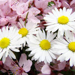 """DAISIES Spring Blossoms 32 PINK Blossoms Flowers"" by BasleeTroutman"