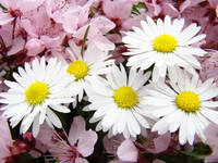 DAISIES Spring Blossoms 32 PINK Blossoms Flowers