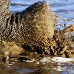 """Elephant foot wlking thru water"" by MichaelPoliza"