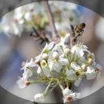 """""""Flight of the Bee"""" by PhotosbyTeia"""
