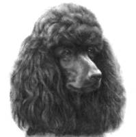 Poodle (Black or Chocolate)