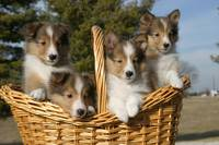 Puppies in Basket