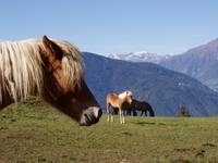 triple Haflinger in Hafling