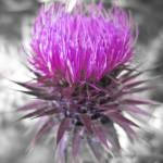 """Scottish thistle"" by redkitecreative"