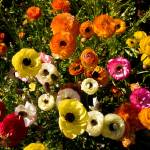 """Carlsbad Flowers (1)"" by pbk"