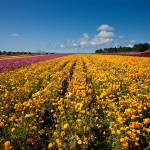 """The Flower Fields of Carlsbad"" by pbk"