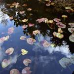 """Lilly Pads_0835"" by gailmisner"