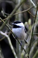 Black-Capped Chickadee Bird_0901