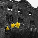 """Kilnaboy County Clare, B&W + yellow daffodil"" by upthebanner"