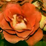 """Antique Roses"" by rayjacque"