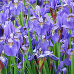 """Irises Art Print Blue Iris Flowers Spring Garden"" by BasleeTroutman"