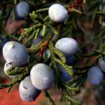 """Juniper Berries on Branch"" by jay1blue"