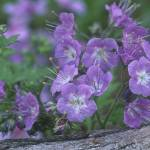 """Carolina Geranium"" by TerryCrain"