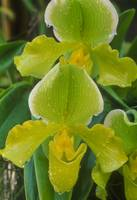 Green Orchid 2