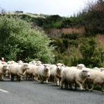 """Watch out for Sheep in the Road"" by BKaneko"