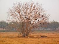 A leafless tree, home to a large number of big bir