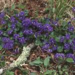 """Purple Blue Violets"" by TerryCrain"