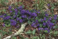 Purple Blue Violets
