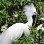 """Snowy Egret"" by karld001"