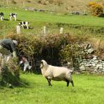 """Ireland Lamb Rescue"" by Rudderow"