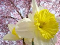 Daffodils 22 Spring BLOSSOMS Daffodil Flowers Art