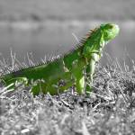 """Lizard colorized"" by rkohn12"