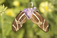 Zebra Longwing Butterflies Heart