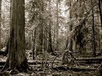 modified old growth