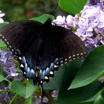 """""""Butterfly and Lilacs"""" by magnoliadorn"""