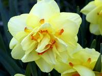 Fancy Double Ruffled Daffodil