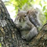"""Tree Squirrel"" by LaurieArnold"