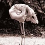 """""""Pink Flamingo"""" by nibbana"""