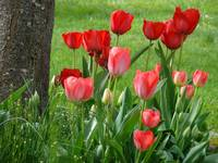 Tulips 32 TULIP FLOWER Garden Spring Nature