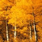 """""""Aspen Trees Montana"""" by fractalartvicky"""