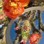 """cactus blossoms reflections"" by artbyaleksandra"