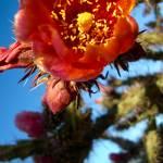 """april cactus blossoms"" by artbyaleksandra"