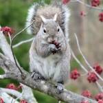 """Gray Squirrel eating maple buds"" by Picsofnature"