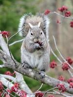 Gray Squirrel eating maple buds