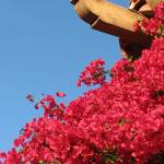 """Bougainvillea into the Blue"" by CNPD"