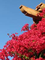 Bougainvillea into the Blue