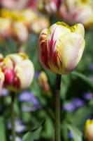 Red and Yellow Tulips - 2