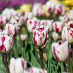 """Pink and White Tulips"" by ianclasper"