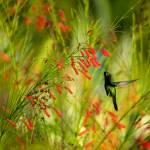 """Humming Bird"" by photos"